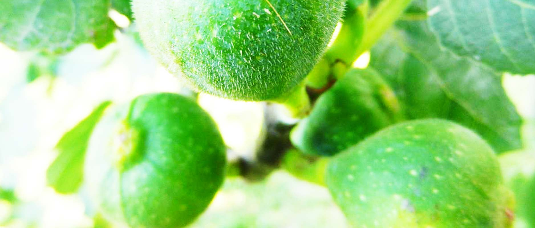 Vijgenboom | 5 interessante feiten